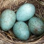 Nagy tojásmustra