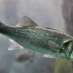 Fontos érzéküket veszíthetik el a halak