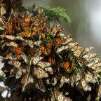 Végzetes lehet az őszi melegedés a pompás királylepkéknek