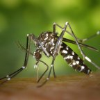 Javában zajlik hazánkban az inváziós szúnyogok lakossági felmérése
