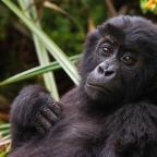 Veszélyben a keleti síkvidéki gorillák, de még tartják magukat